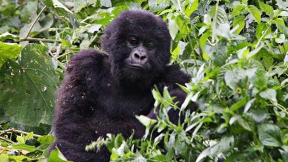 Gorillamorden
