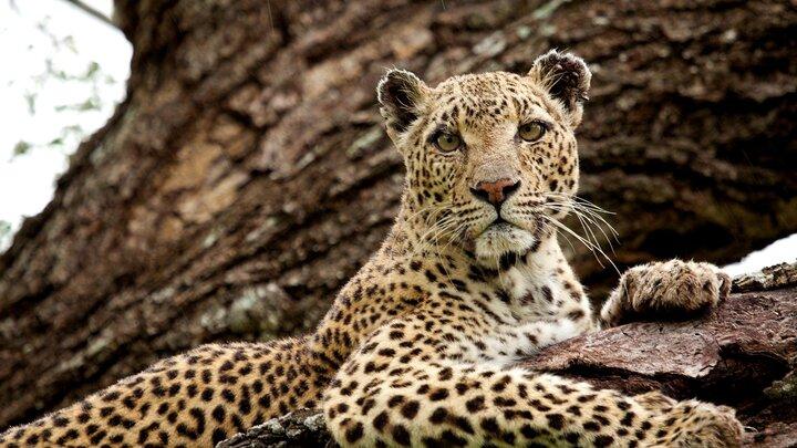 Leoparddrottningen