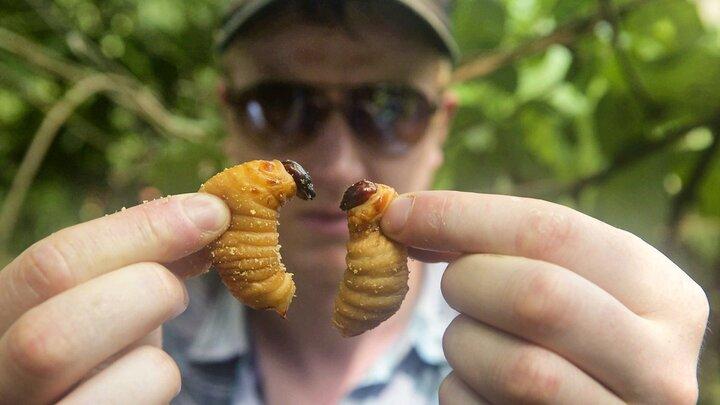 Äta myror?
