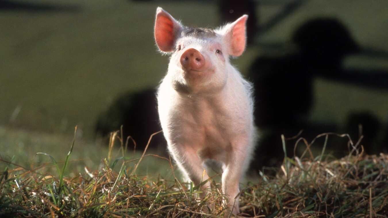 Babe - den modiga lilla grisen - sv.tal