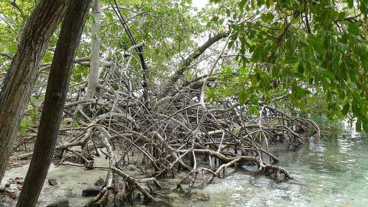 Le Colosse des Mangroves