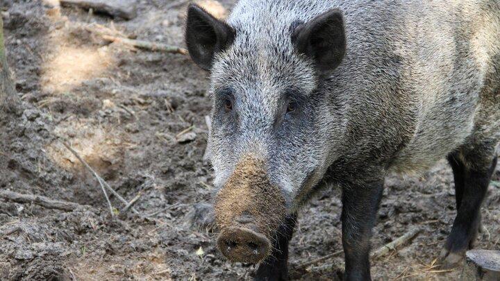 Förvildade svin