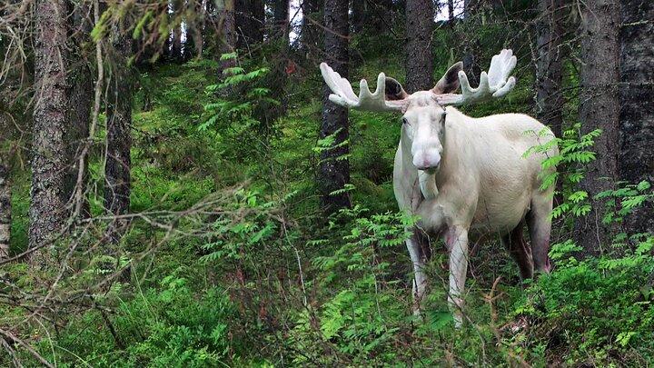 Skogens vita konung