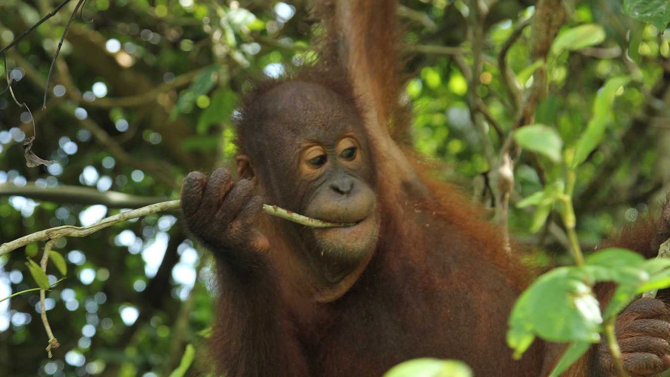Meet the Orangutans