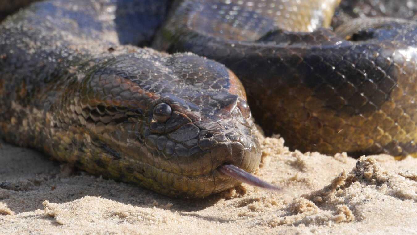 Anakondan: Tyst och dödlig
