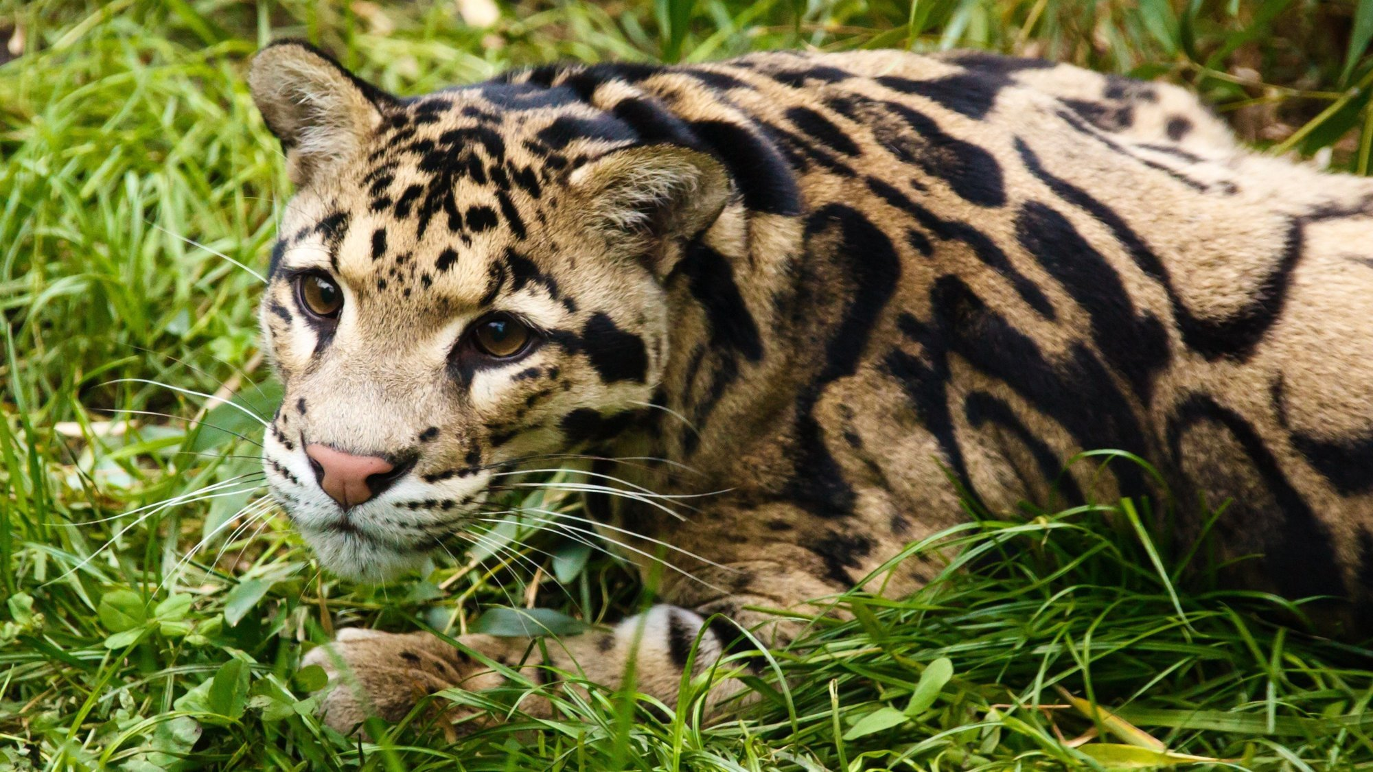 Growing Up Clouded Leopard