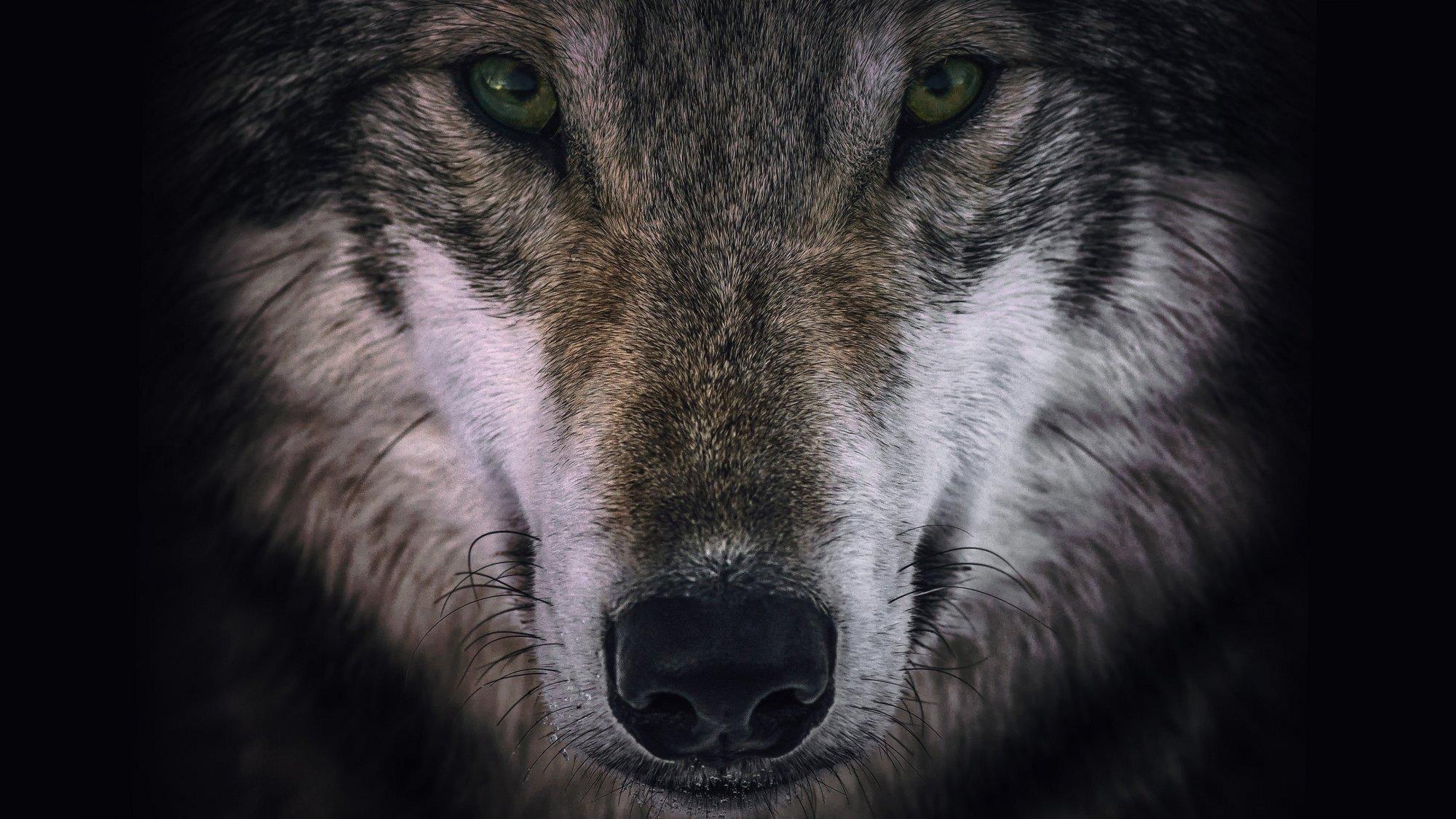 Wolves & Warriors