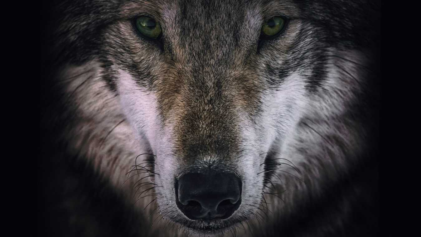 Wolves & Warriors
