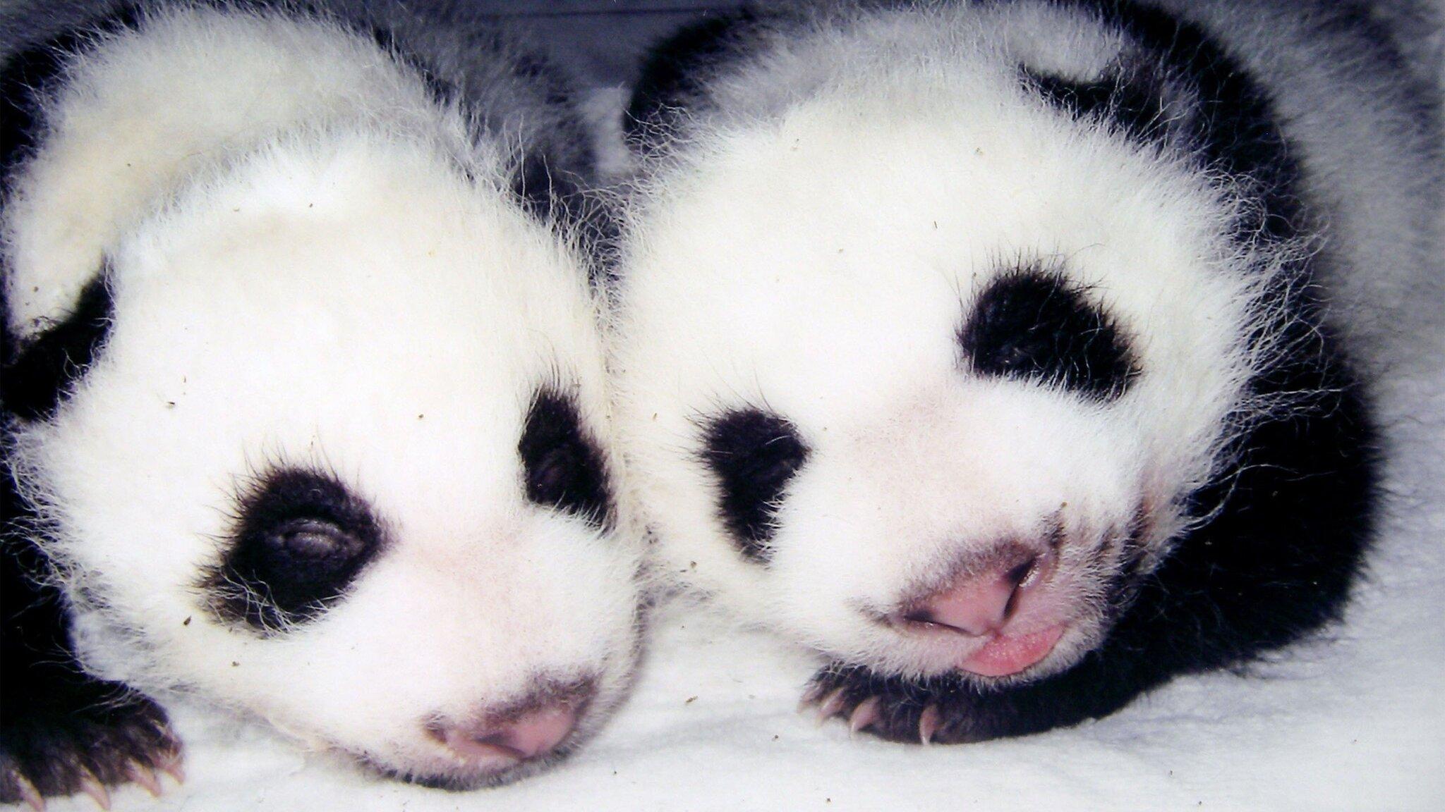 A Panda Is Born