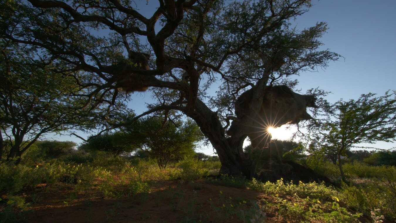 Afrikas gamla träd