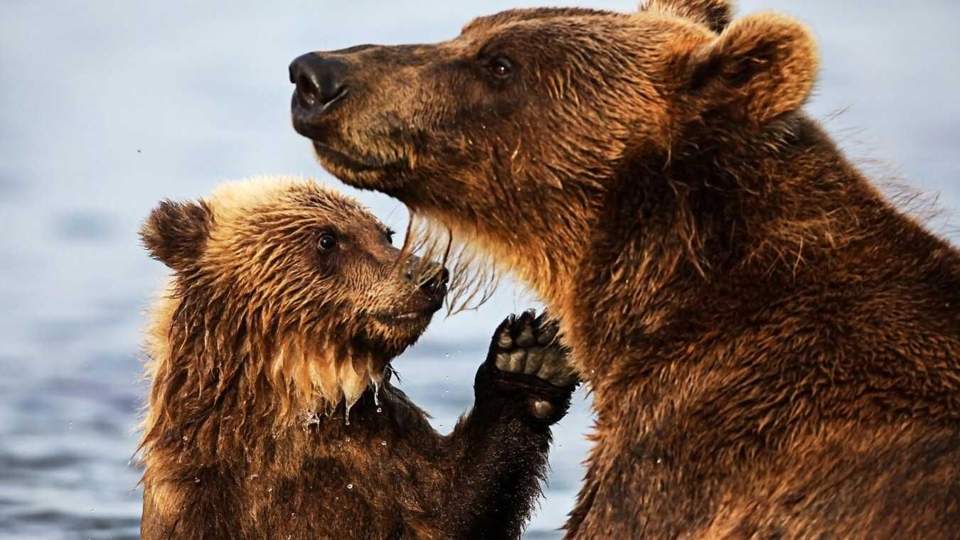 Björnens superkrafter