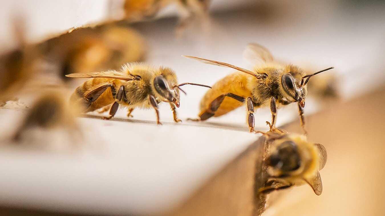 Den stora bi-utmaningen