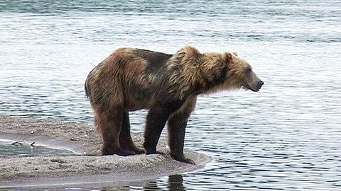 Lachse, Bären, Liebestänze
