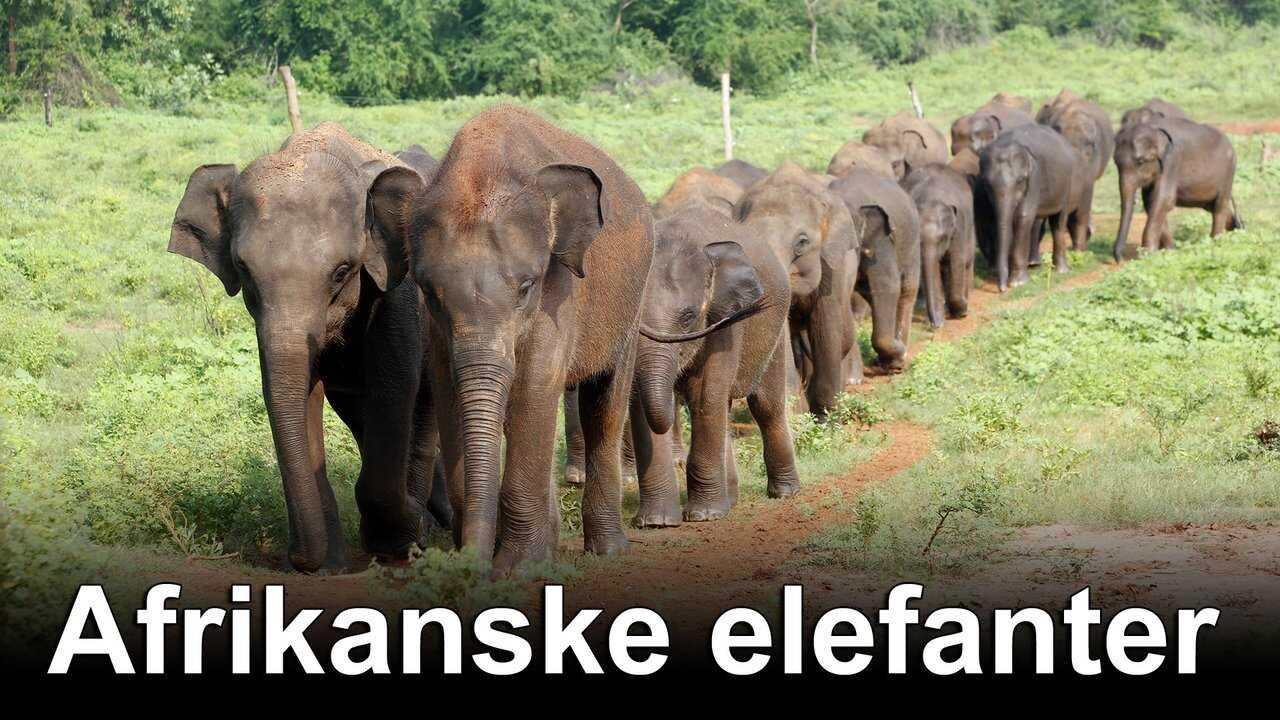 Afrikanske elefanter
